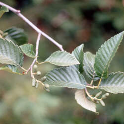 Alnus incana tenuifolia Thinleaf Alder, Mountain Alder seed for sale