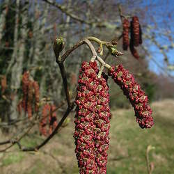 Alnus rubra Red Alder seed for sale