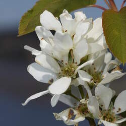 Amelanchier alnifolia Saskatoon Serviceberry, Saskatoon Berry seed for sale