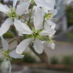 Amelanchier canadensis Canadian Serviceberry, Shadblow, Downy Serviceberry, Shadbush seed for sale