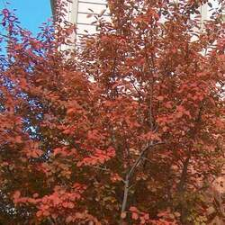 Amelanchier laevis Alleghany Serviceberry, Smooth Shadbush seed for sale