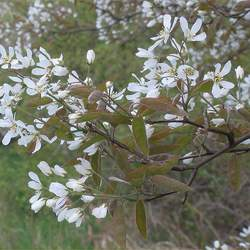 Amelanchier lamarckii Juneberry seed for sale