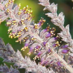 Amorpha canescens     clean seed Lead Plant, Leadplant seed for sale