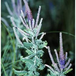 Amorpha canescens     with hulls Lead Plant, Leadplant seed for sale