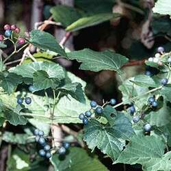 Ampelopsis brevipedunculata Porcelain Berry, Amur Peppervine seed for sale