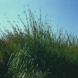 Andropogon gerardii   Rountree Rountree Big Bluestem seed for sale