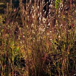 Andropogon ternarius Splitbeard Bluestem, Split Bluestem, Silver Bluestem, Paintbrush Bluestem seed for sale
