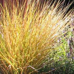Anemanthele lessoniana Pheasant Grass, Gossamer Grass, New Zealand Wind Grass, Pheasant's Tail Grass seed for sale
