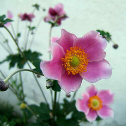 Anemone hupehensis Chinese Anemone, Japanese Thimbleweed seed for sale