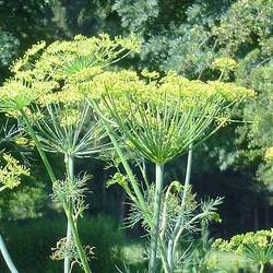 Anethum graveolens  Bouquet Dill - Bouquet Variety seed for sale