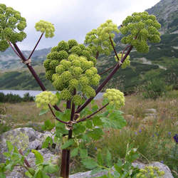 Angelica archangelica Angelica, Archangel, Wild Parship, Norwegian Angelica seed for sale