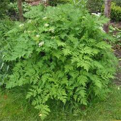 Anthriscus cerefolium Garden Chervil, Chervil, Gourmet's Parsley seed for sale