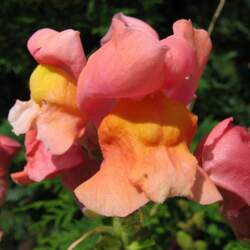Antirrhinum majus  Maximum Snapdragon, Garden Snapdragon seed for sale