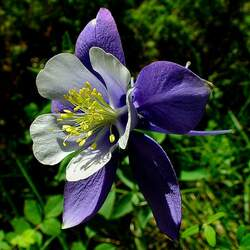 Aquilegia caerulea Colorado Columbine, Colorado Blue Columbine, Rocky Mountain Columbine seed for sale