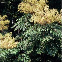 Aralia spinosa     clean seed Devil's Walkingstick, Devil's Walking Stick seed for sale