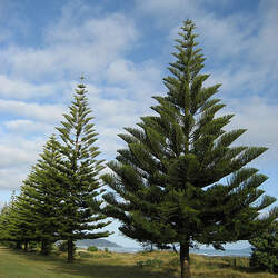 Araucaria excelsa Norfolk Island Pine, Star Pine seed for sale