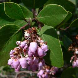 Arctostaphylos patula Greenleaf Manzanita seed for sale