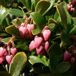 Arctostaphylos uva-ursi Bearberry, Kinnikinick seed for sale