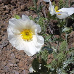 Argemone glauca Smooth Pricklypoppy seed for sale