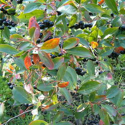 ARONIA melanocarpa Black Chokeberry, Black-seeded Chokeberry seed for sale