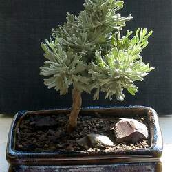 Artemisia tridentata Sagebrush, Big Sagebrush seed for sale