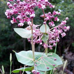 Asclepias cordifolia Heartleaf Milkweed seed for sale