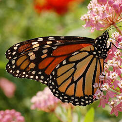 Asclepias incarnata Swamp Milkweed seed for sale