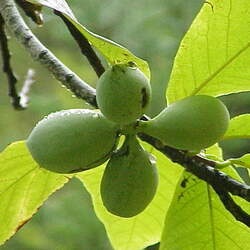 Asimina triloba   Select Seed Selected Common Pawpaw seed for sale