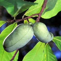 Asimina triloba   PA Golden Selected Common Pawpaw seed for sale