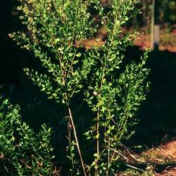 Baccharis halimifolia Silverling, Eastern Baccharis, Groundsel, Groundsel Bush, Consumption Weed, Cotton-seed Tree, Groundsel Tree seed for sale