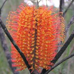 Banksia ericifolia Heath-leaved Banksia, Heath-leaf Banksia, Lantern Banksia, Heath Banksia seed for sale