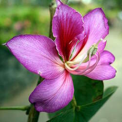 Bauhinia variegata Mountain Ebony, Orchid Tree seed for sale