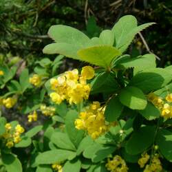 Berberis amurensis Amur Barberry seed for sale