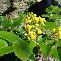 Mahonia aquifolium Tall Oregon-grape seed for sale