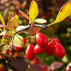 Berberis thunbergii Japanese Barberry seed for sale