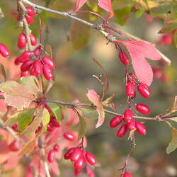 Berberis vulgaris Common Barberry, European Barberry seed for sale