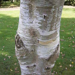 Betula albosinensis Chinese Paper Birch seed for sale