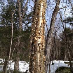 Betula alleghaniensis Yellow Birch seed for sale