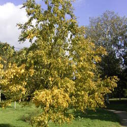 Betula lenta Sweet Birch, Black Birch seed for sale