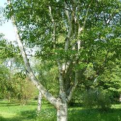Betula luminifera Shinybark Birch seed for sale