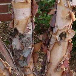 Betula nigra    Southern River Birch, Water Birch seed for sale