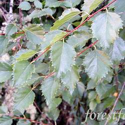 Betula occidentalis Red Birch, Water Birch, Western Red Birch seed for sale