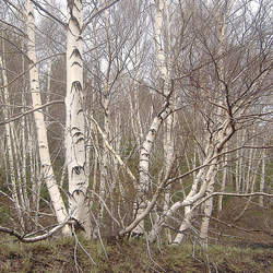 Betula pendula     broken strobiles European White Birch seed for sale