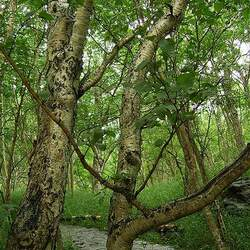 Betula platyphylla  Kamchatka Kamchatka Asian White Birch seed for sale
