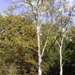 Betula platyphylla  Japonica Japanese White Birch seed for sale
