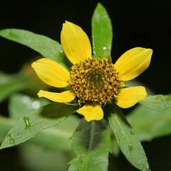Bidens cernua Nodding Beggartick, Nodding Bur-marigold, Nodding Beggarsticks, Nodding Bur Marigold, Bur Marigold, Pitchfork Weed, Sticktight, Sticktights, Tickseed Sunflower seed for sale