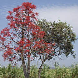 Brachychiton acerifolius Flame Tree, Flame Bottletree seed for sale