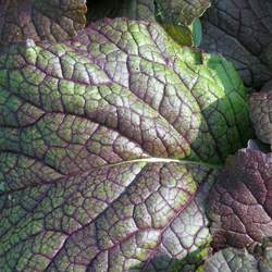 Brassica juncea  Red Giant Mustard Greens - Red Giant seed for sale