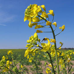 Brassica napus   Bonar Rape, Bonar Forage Rape seed for sale