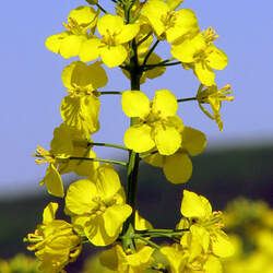 Brassica napus   Wichita Rape, Wichita Rape, Wichita Canola Rape seed for sale